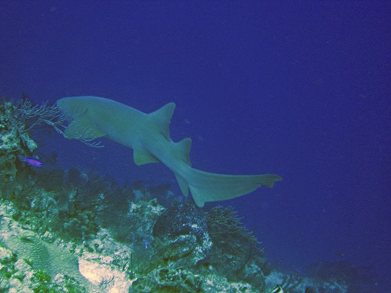 Nurse Shark by Art and Joely